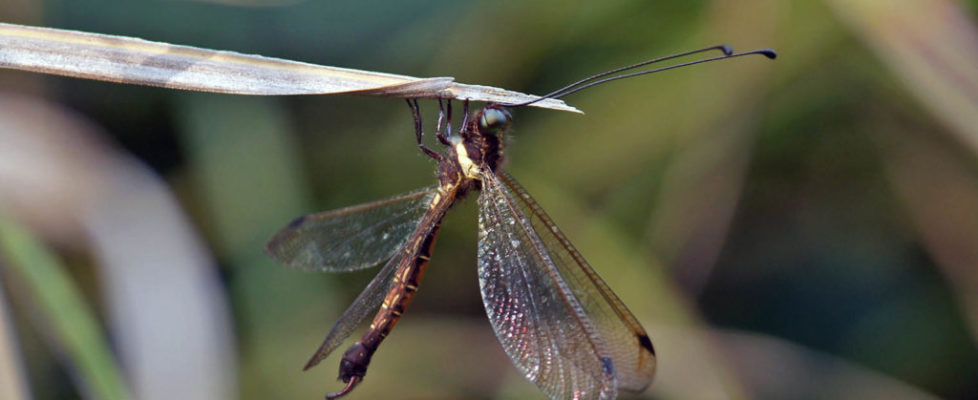 黃脊蝶角蛉 Hybris subjacens