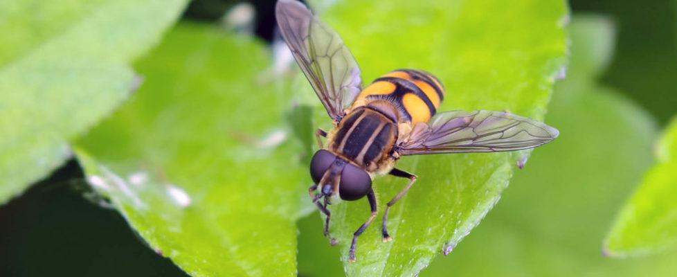 斑腹粉顏蚜蠅 Mesembrius bengalensis
