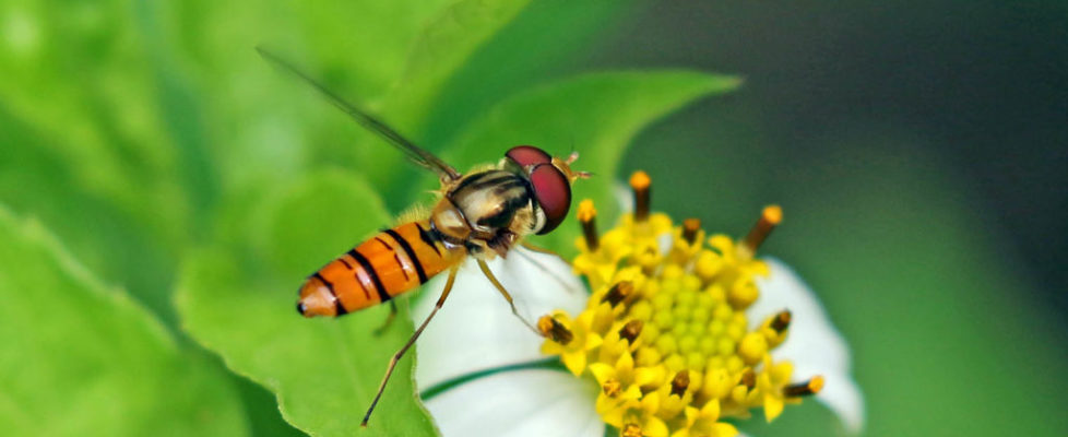 黑帶蚜蠅 Episyrphus balteatus