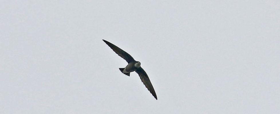 白喉針尾雨燕 White-throated Needletail