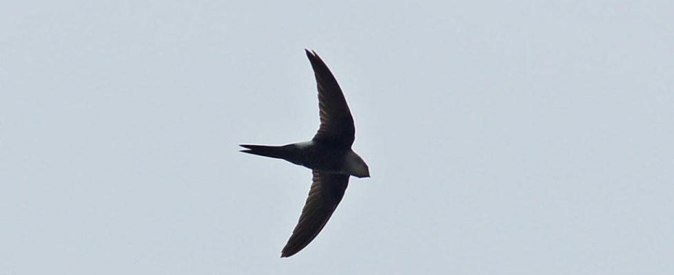 白腰雨燕 Fork-tailed Swift