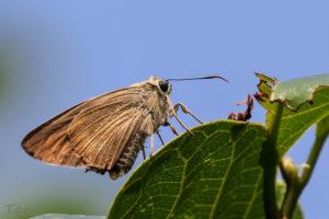 尖翅弄蝶 Badamia exclamationis
