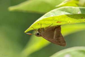 雙斑趾弄蝶 Hasora chromus