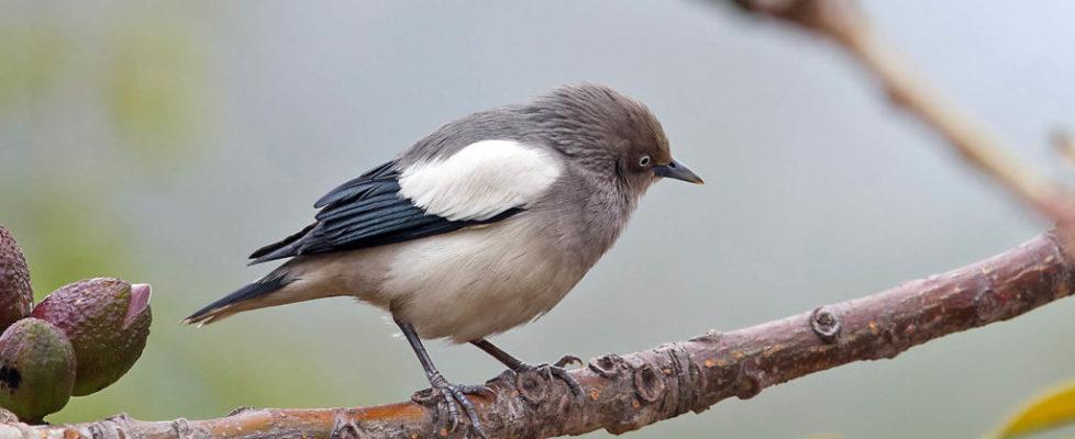 灰背椋鳥 White-shouldered Starling