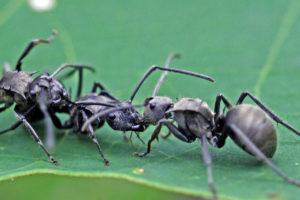 梅氏多刺蟻 Polyrhachis illaudata