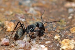 哀弓背蟻 Camponotus dolendus