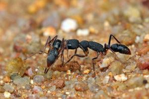 獵鐮猛蟻  Harpegnathos venator