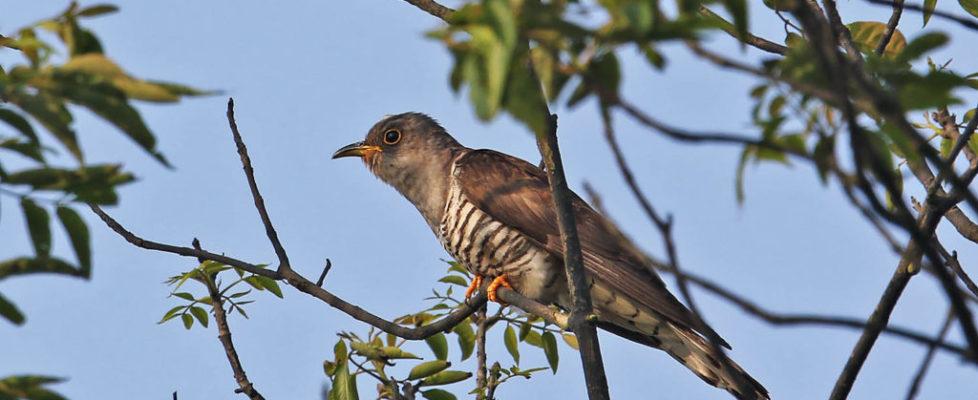 四聲杜鵑 Indian Cuckoo