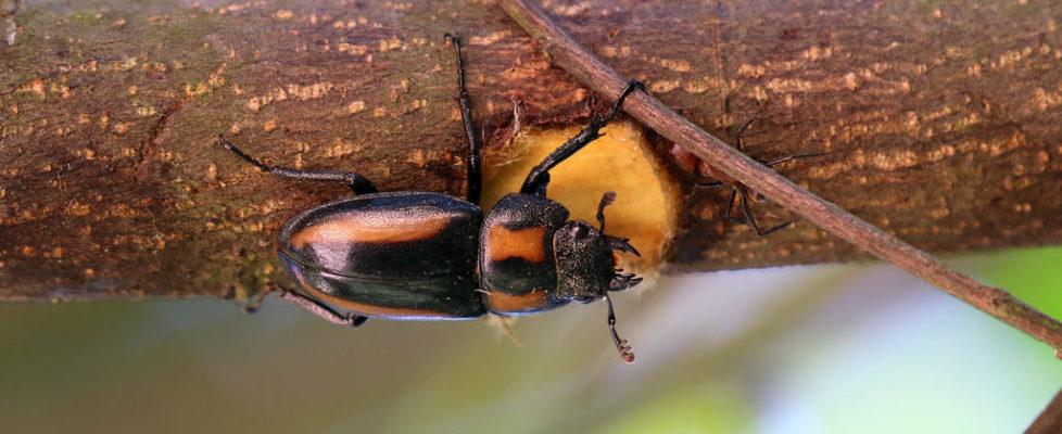 寛帶前鍬甲 Prosopocoilus biplagiatus