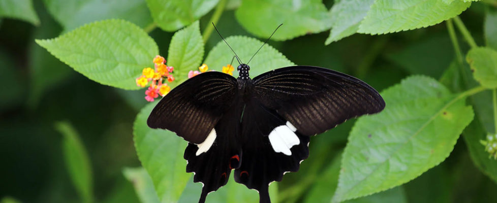 玉斑鳳蝶 Papilio helenus