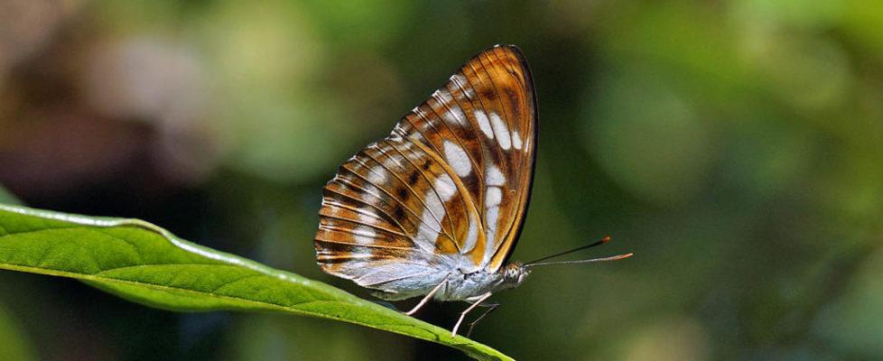 相思帶蛺蝶 Athyma perius