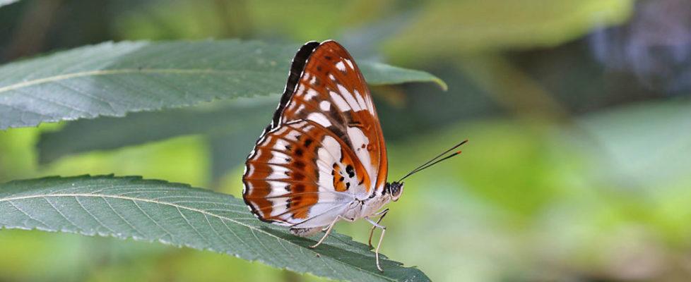 殘鍔線蛺蝶 Limenitis sulpitia