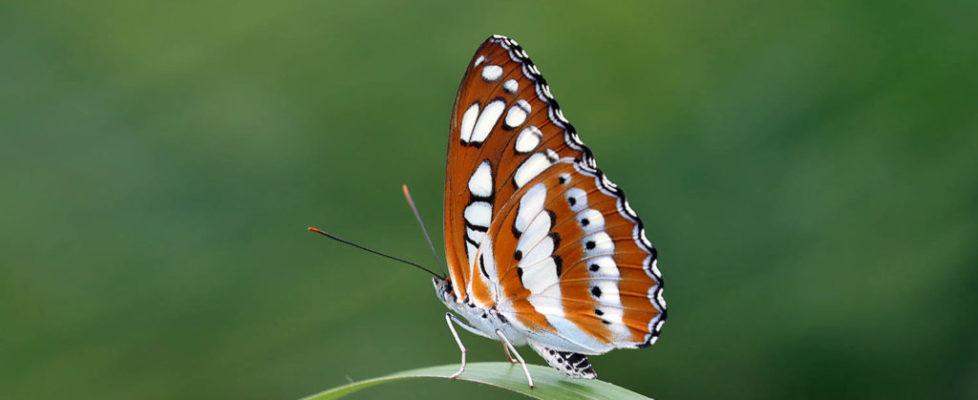 玄珠帶蛺蝶 Athyma perius