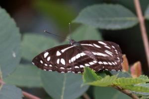 柱菲蛺蝶 Phaedyma columella