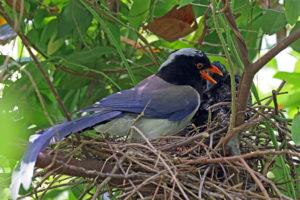 紅嘴藍鵲 Blue Magpie