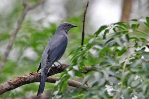 暗灰鵑鵙 Black-winged Cuckooshrike