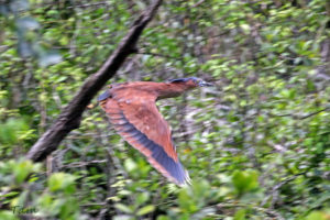 黑冠鳽 Malayan Night Heron