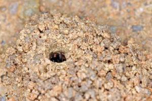 横紋齒猛蟻 Odontoponera transversa