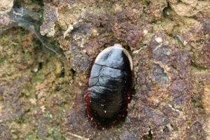 金邊土鱉 Opisthoplatia orientalis
