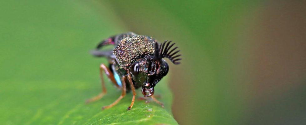 角胸蟻小蜂 Schizaspidia sp.