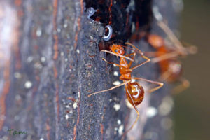 細足捷蟻 Anoplolepis gracilipes