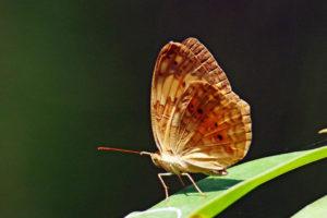 黃襟蛺蝶 Cupha erymanthis