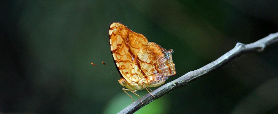 散紋盛蛺蝶 Symbrenthia lilaea