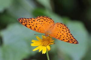 琺蛺蝶 Phalanta phalantha