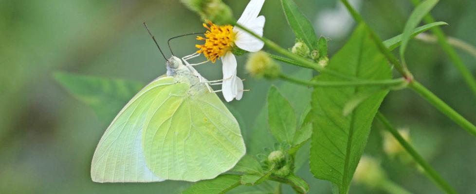 遷粉蝶 Catopsilia pomona