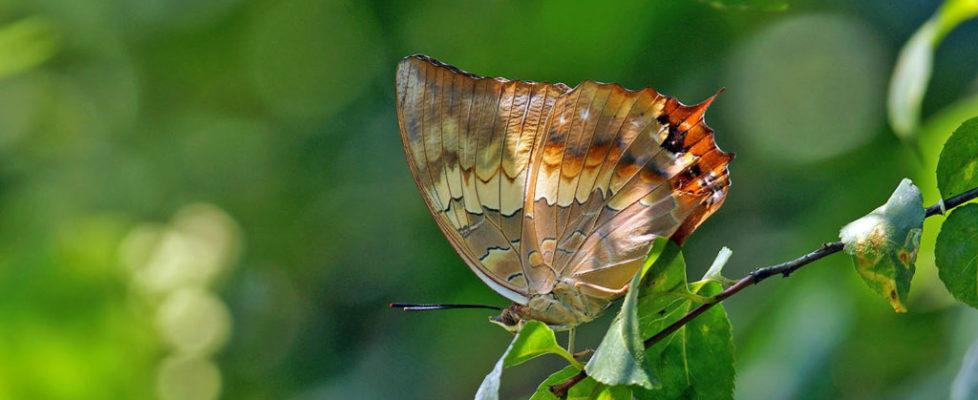 白帶螯蛺蝶 Charaxes bernardus