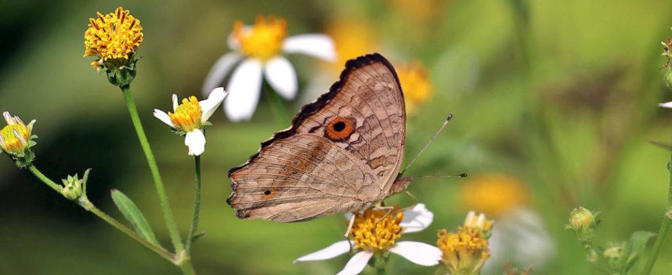 蛇眼蛺蝶 Junonia lemonias