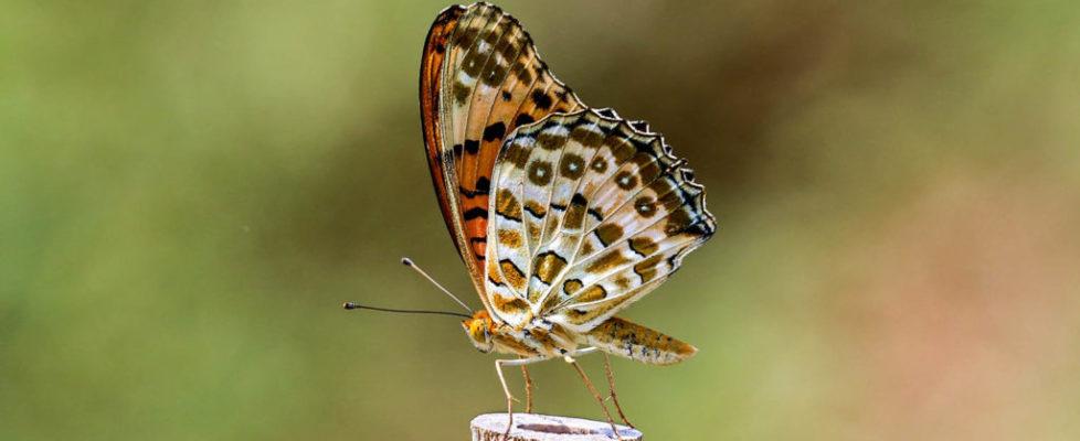 斐豹蛺蝶 Argyreus hyperbius